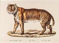 Gestreifter Tiger