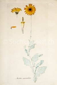 Arctotis auriculata