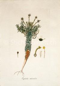 Euphorbia tuberculata