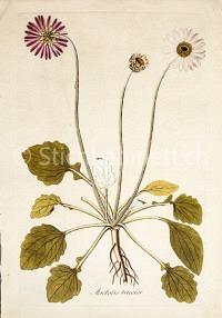 Arctotis tricolor
