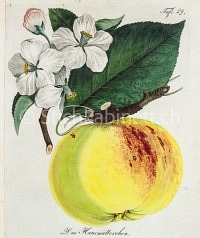Apfelsorte Hausmütterchen