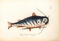 Bagre secundae Speeciei Marggr affinis – Wels (?)